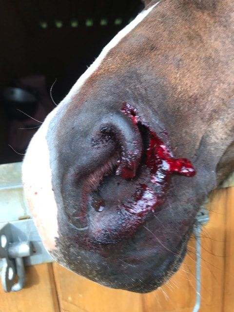 Horse nose laceration